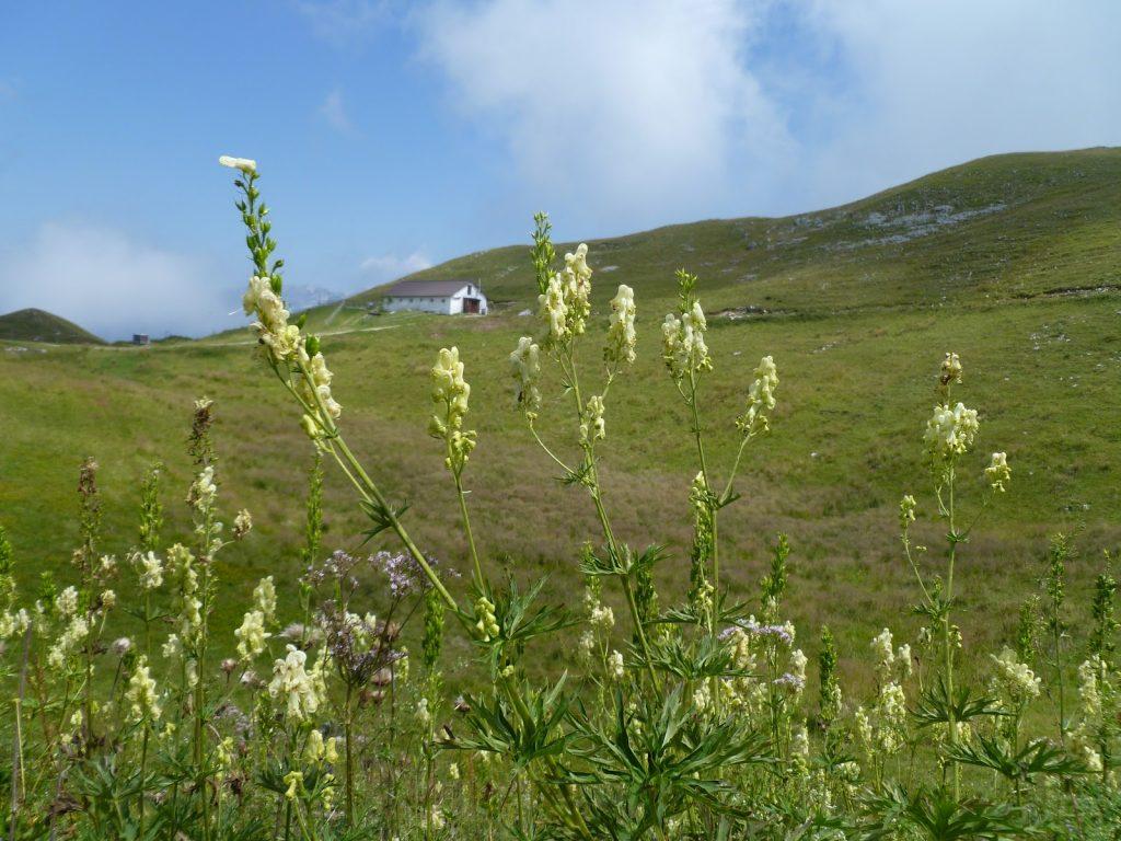 Aconitum lycoctonum Vulparia giardino botanico alpino delle Alpi orientali del monte Faverghera Nevegal Vittorio Alberti