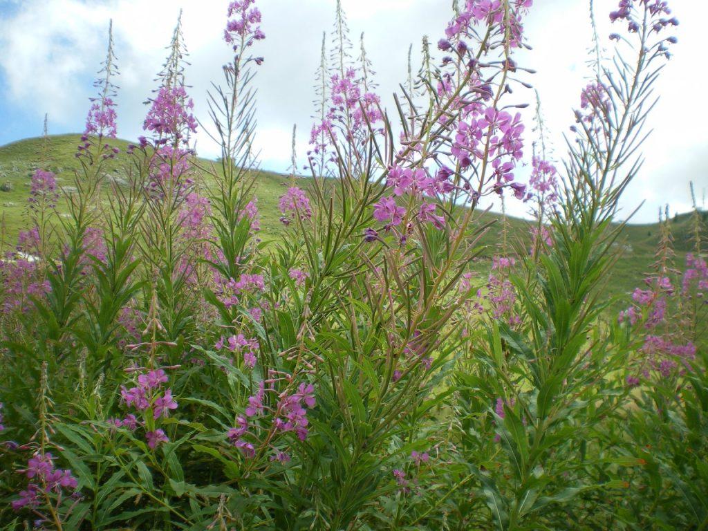 epilobium-agustifolium-Salix-reticulata-giardino-botanico-alpino-del-monte-Faverghera-Nevegal-BL-Centro-ricerca-piante-officinali-1536x1152-1